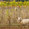 Thumbnail image for Organic and Biodynamic Wines: Showing the Personality of the Vineyard