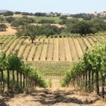 Stolpman-vineyard2